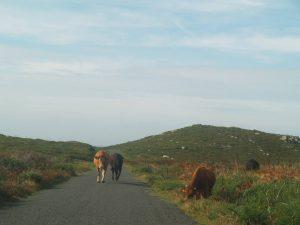 Vacas pastando al borde del camino