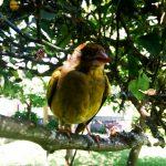 Perico canario posado en rama de un árbol de casanosa