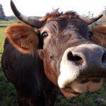 Vaca paseando al lado de la casa de turismo rural